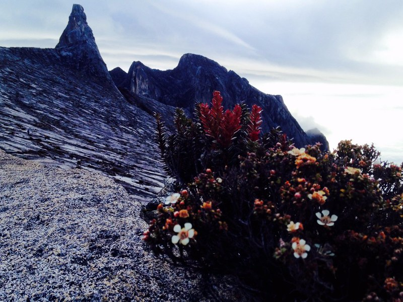 plant life high on mount kinabalu
