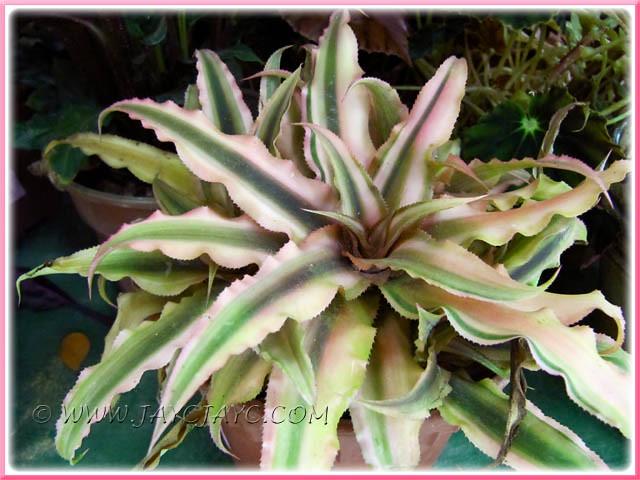 Cryptanthus Bivittatus Pink Starlite 2 2 Commonly