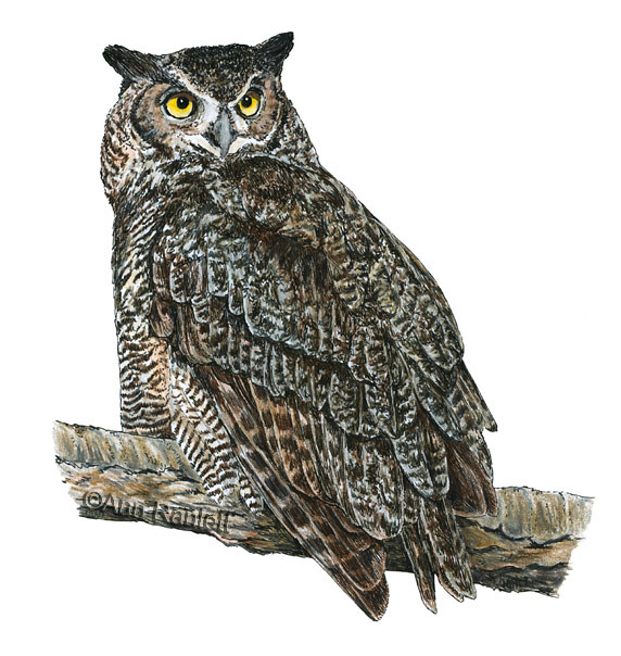Great Horned Owl Ink And Color Pencil On Paper I Used A