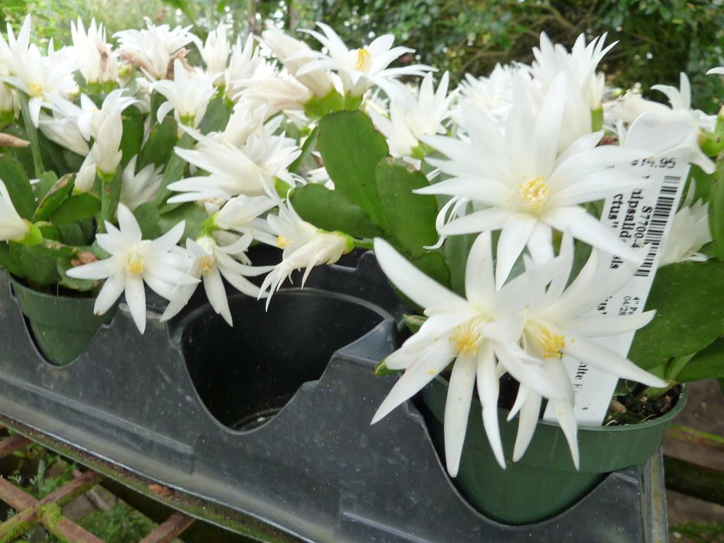 Rhipsalidopsis Sirius Pp White Easter Cactus Flickr