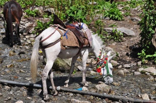 Mule, Ghangaria