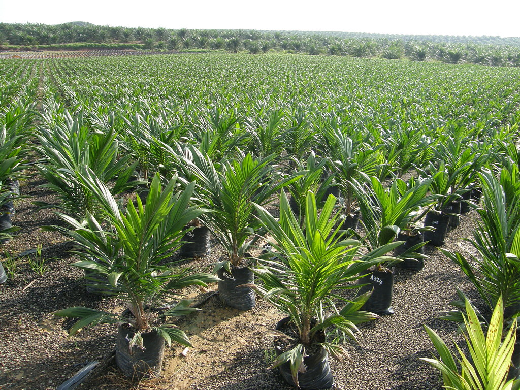 Oil Palm Nursery