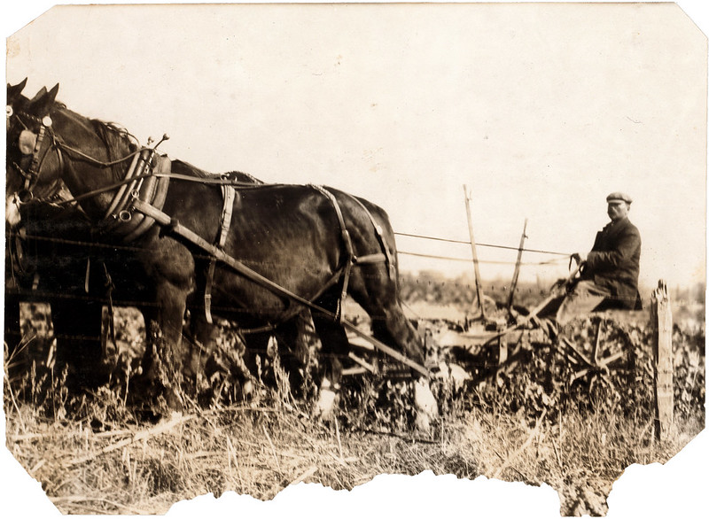 Hine, Lewis Wickes, photographer. A Giddings beet-puller, drawn by 4 horses. The two knives pass along the sides of the beet rows and loosen the soil -- but they do not pull the beets -- the workers finish pulling by hand, often with some extra exertion. A kind of hand plow puller is often used on small farms. Near Sterling, Colorado Oct. 23, 1915.
