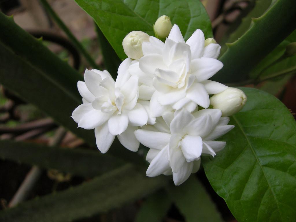 Flower in hawaiian language izmirmasajfo