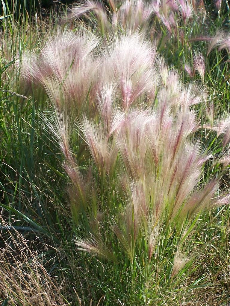 Squirrel Tail Grass Aka Fox Tail Barley Hordeum Jubatum