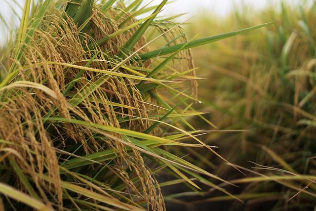 Rice Field in Sekinchan