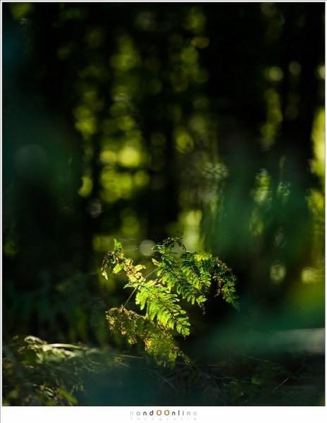 Het verval van een varen. Het zonlicht valt op deze ene varen maar in de achtergrond speelt het licht tussen de bomen. Het tegenlicht laat de bladeren oplichten.