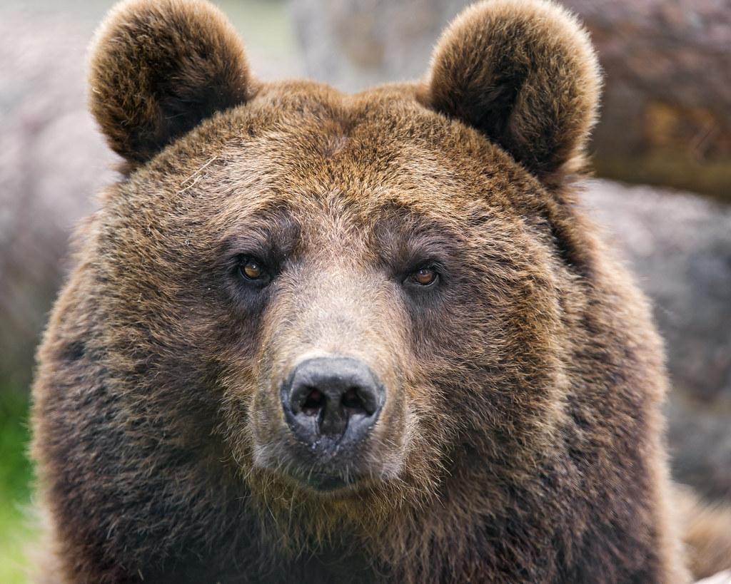 Brown Bear Portrait Ii