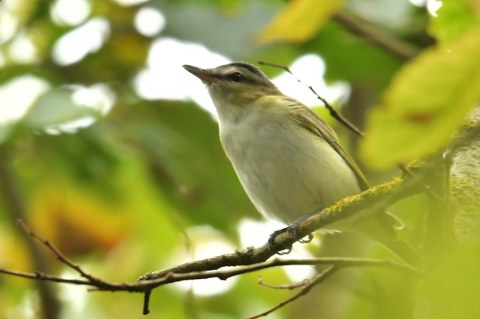 Red-eyed Vireo, Porthgwarra, (S.Rogers)