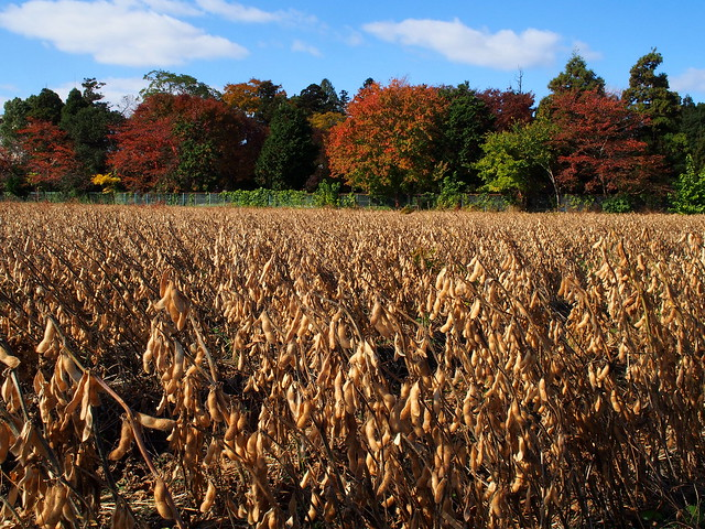 Soybean field with Takano Park in background