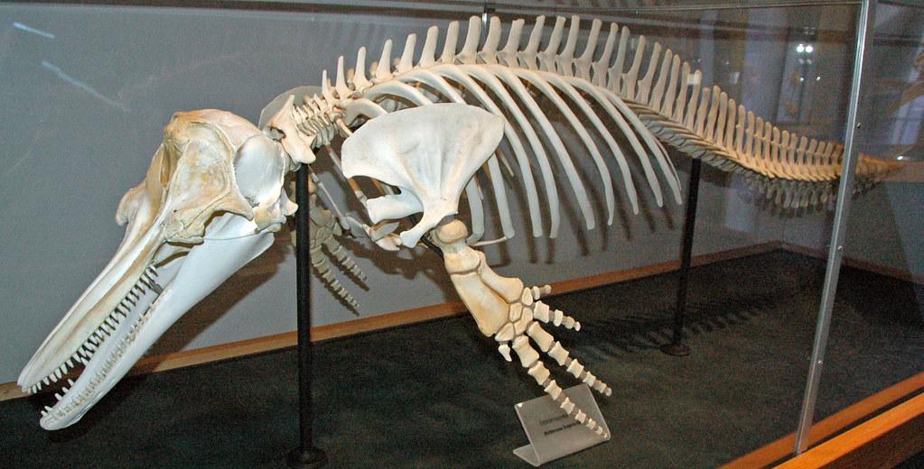 Tursiops Truncatus Atlantic Bottlenose Dolphin 7 Flickr