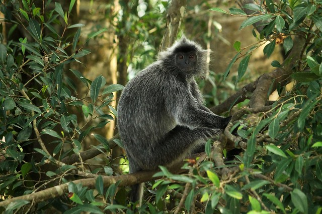 Silvery Lutung (Silvered Leaf Monkey)