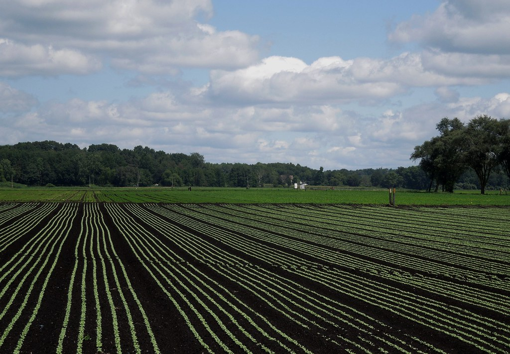 Swamp Road Muck Farms Hartville Ohio Straight Rows Of S Flickr