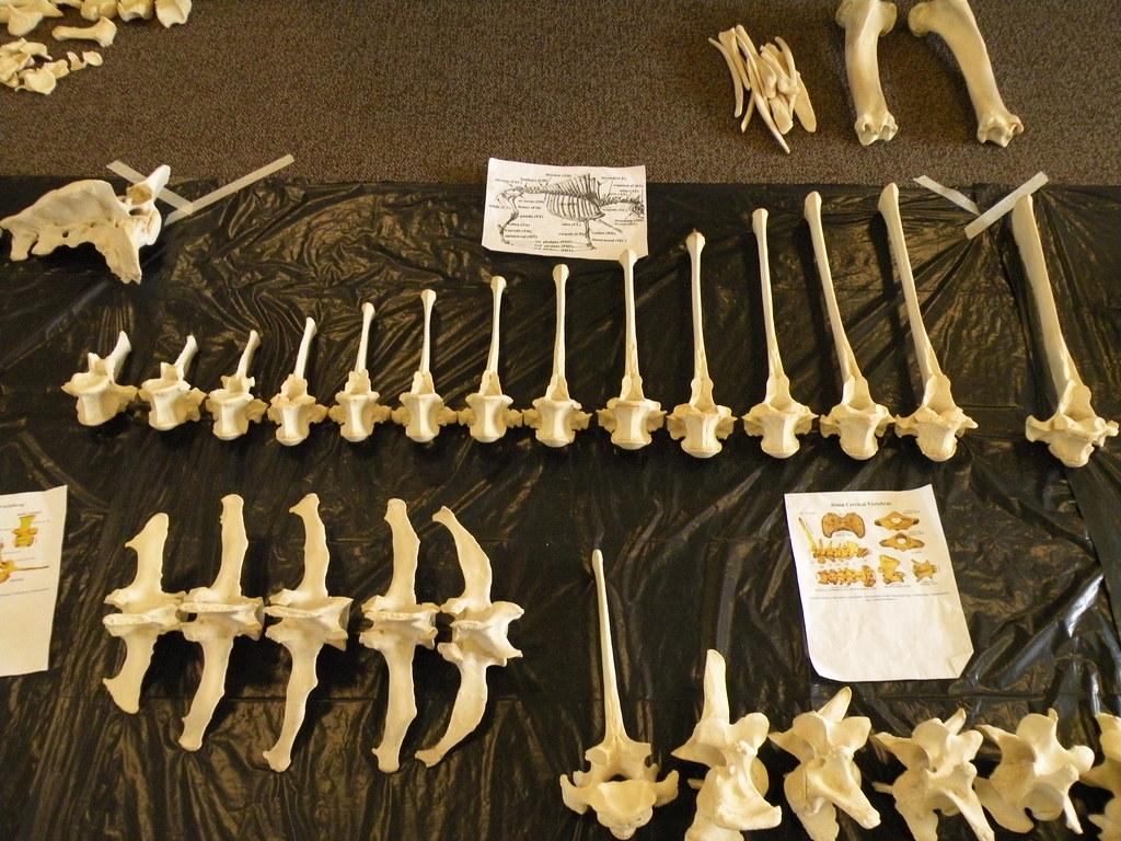 Bison Skeleton Reassembly Bison Skeleton Reassembled And