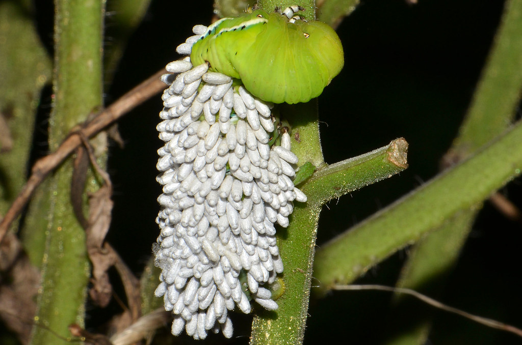 Tomato Hornworm Covered With Braconid Wasp Cocoons Little Flickr