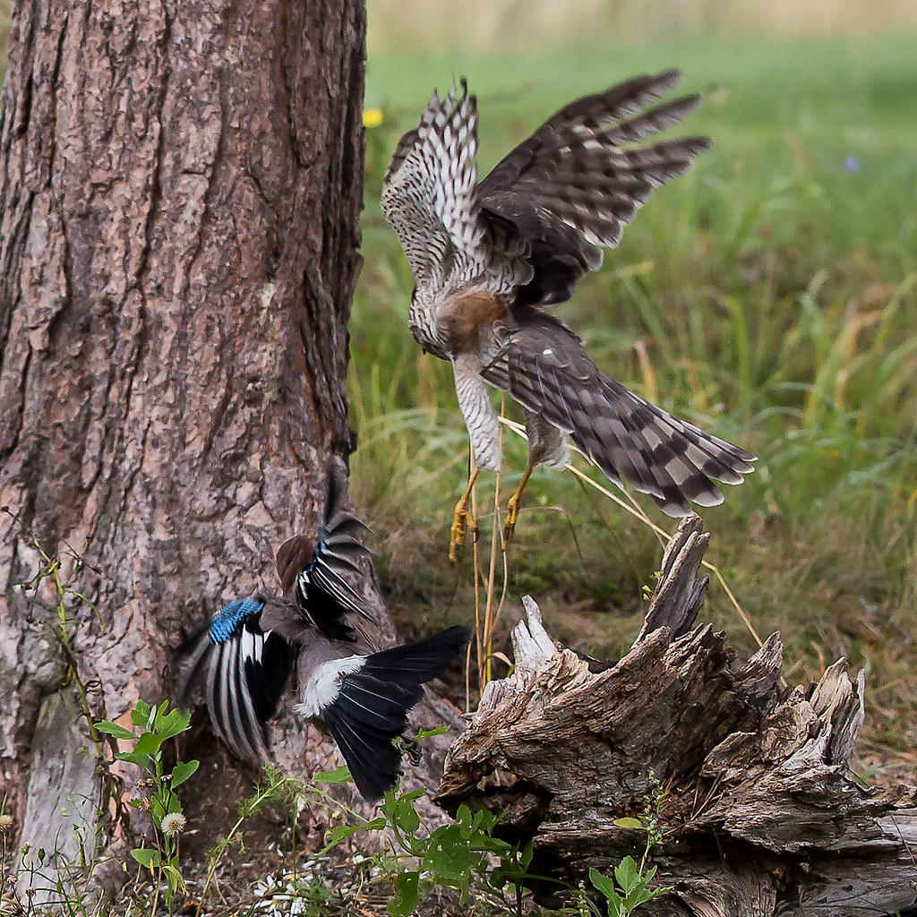 Eurasian Sparrowhawk Accipiter Nisus The Sparrowhawk