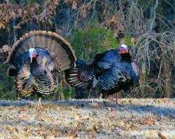 Photo of two wild turkeys