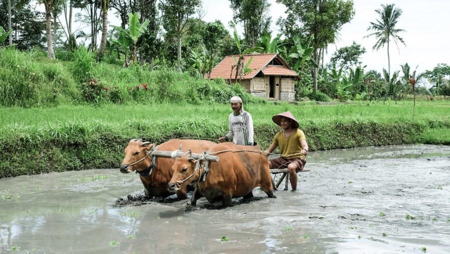 buffalo ride at rice paddies (17 of 25)