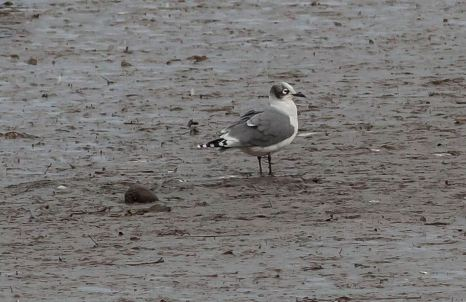 Franklin's Gull, Hayle Estuary, M.Curtis