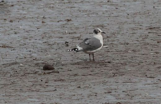Franklin's Gull, Hayle (M.Curtis)
