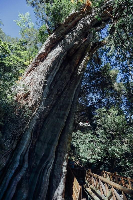 18|為目前全臺灣第二大、但最健康的神木