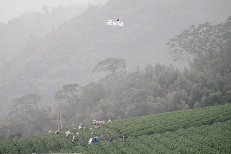 31|一旁採茶姑娘們正低著頭、於雲霧繚繞間辛勤地工作著
