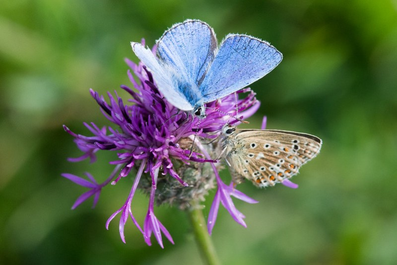 Male and female Adonis Blue on Greater Knapweed