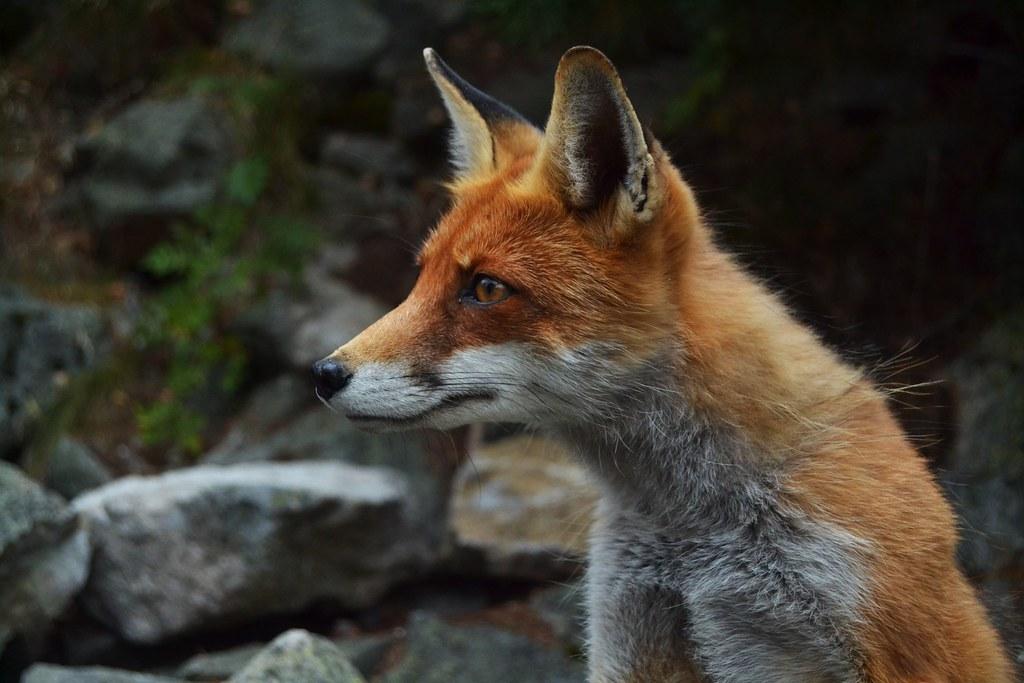 Imagen gratis de un zorro en alta resolución