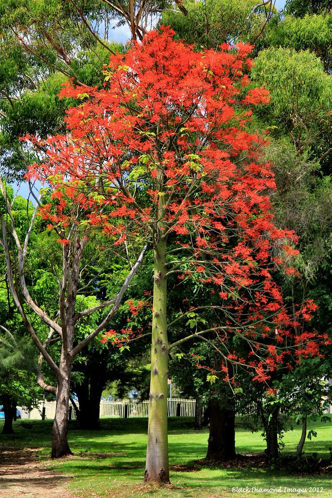 Brachychiton Acerifolius Illawarra Flame Tree 169 All