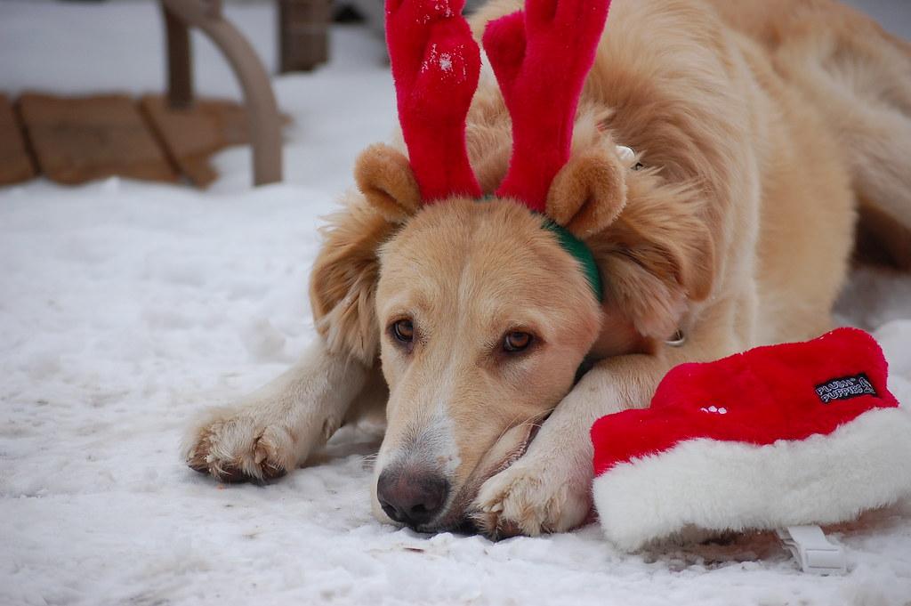 Christmas Dog Sadie Hart Flickr