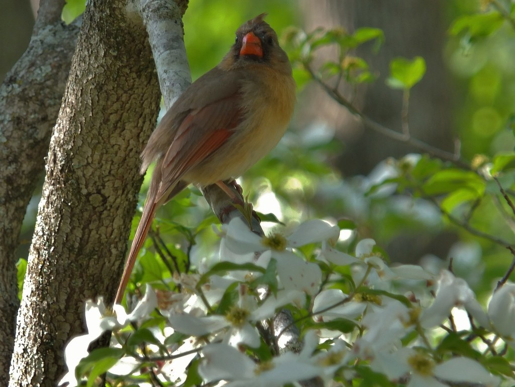 Virginia State Bird And Flower