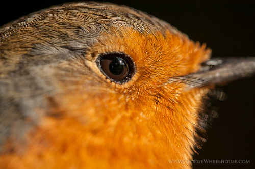 Robin (Erithacus rubecula) eye macro showing feather detail
