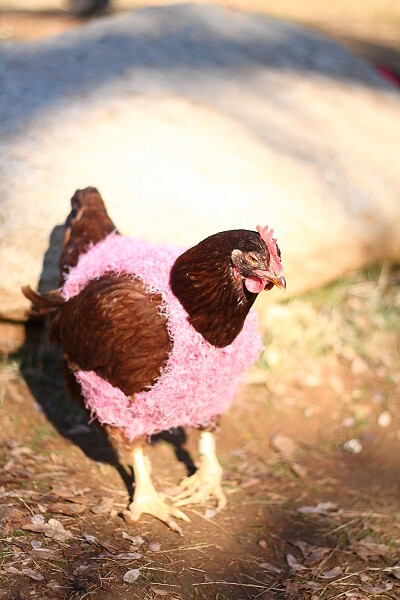 Lay Eggs Chickens Get How