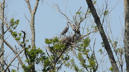 Heron Rookery at Lake Connestee-003