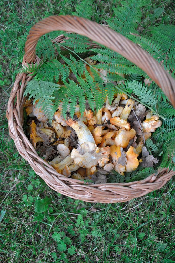 funghii galletti