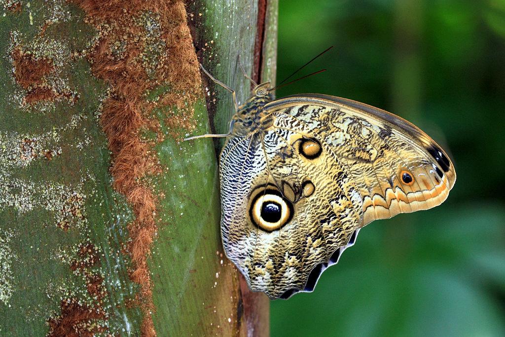 Owl Butterfly Owl Butterfly Quot Butterflies In The Garden