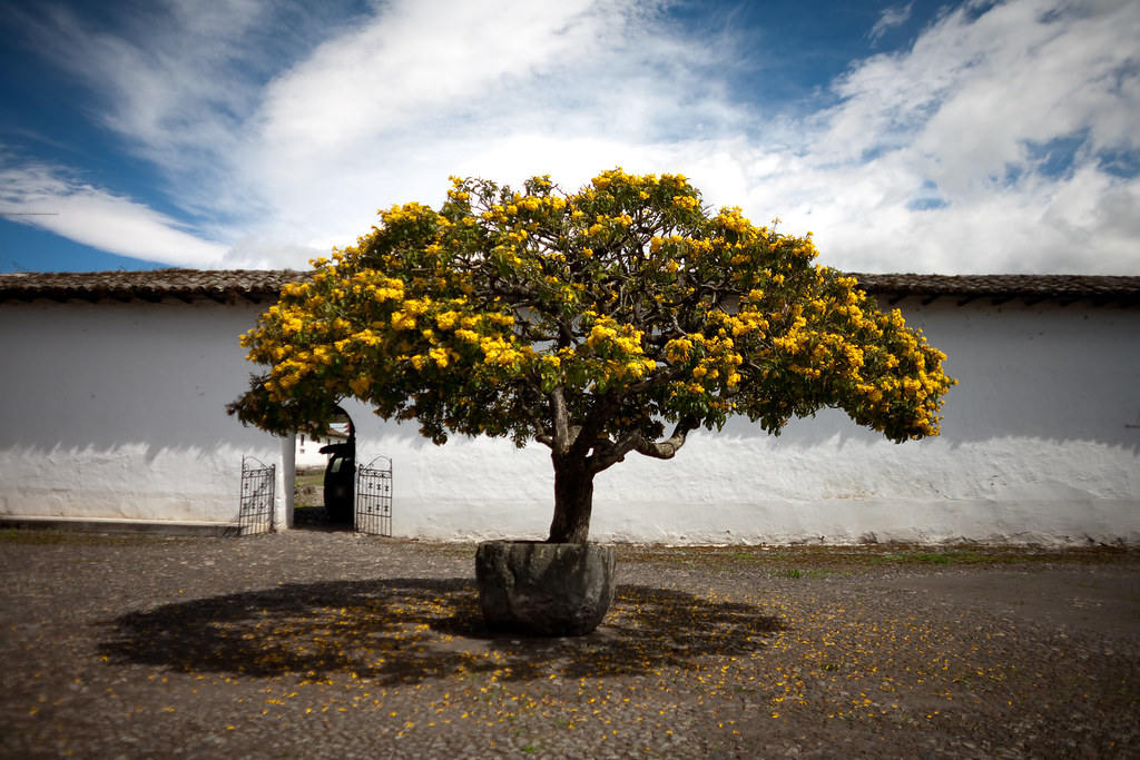 Cordia Lutea Yellow Geiger Tree At Hacienda Zuleta Flickr
