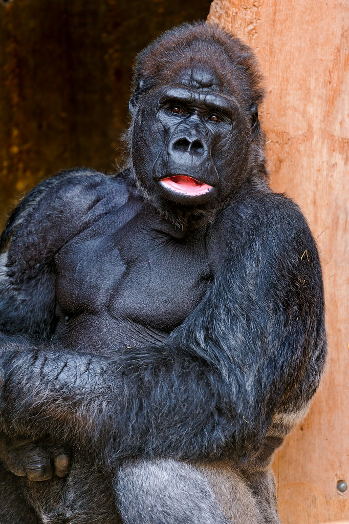 Handsome Gorilla I Don T Know If The Word Handsome Also