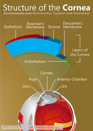 Structure of the Cornea | A diagram of eye, cornea and its