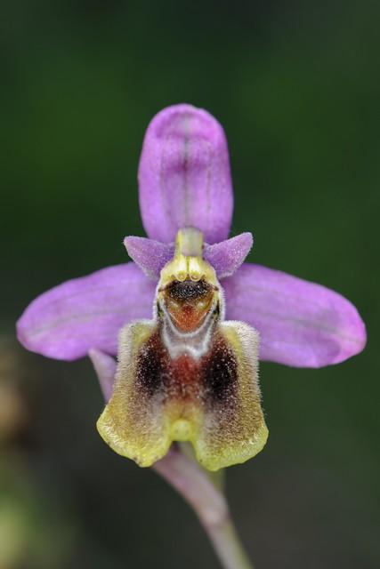 05 Caracter ( Ophrys tenthredinifera )