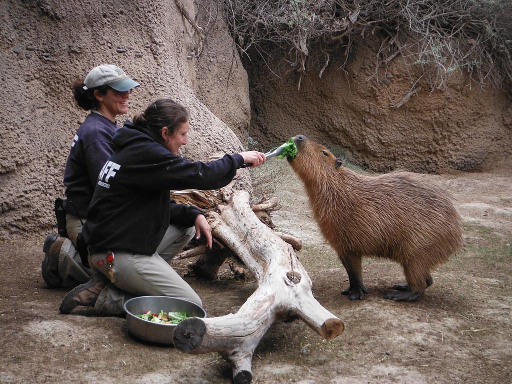 Capybara Training Step Three
