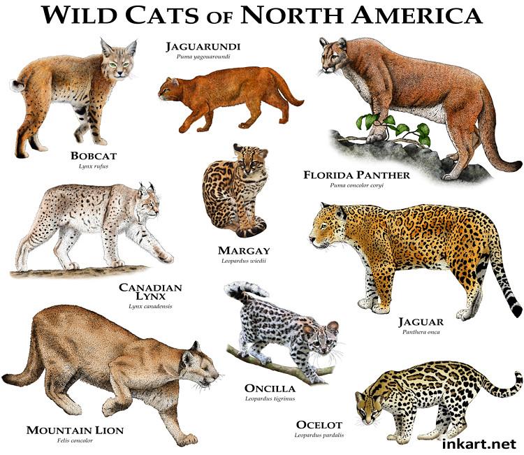 Types Of Texas Wild Cats