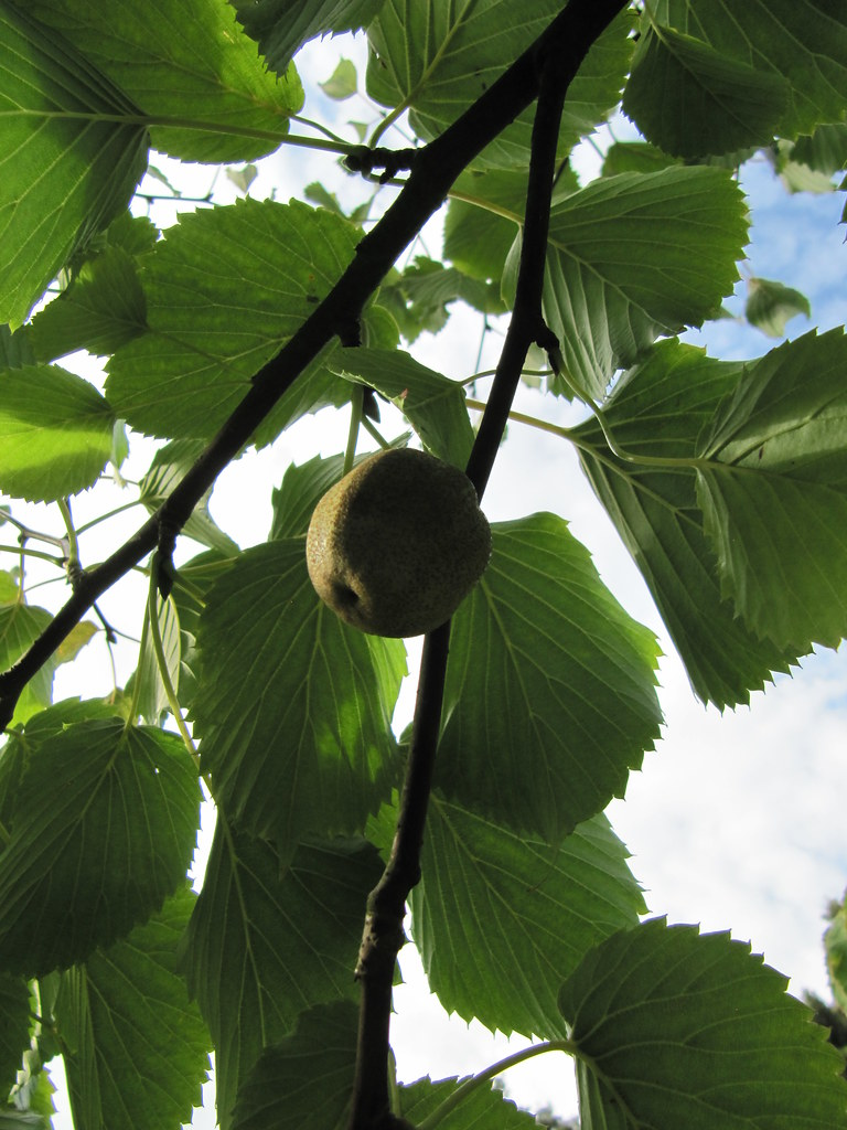 Davidia Involucrata Fruit The Dove Tree Davidia