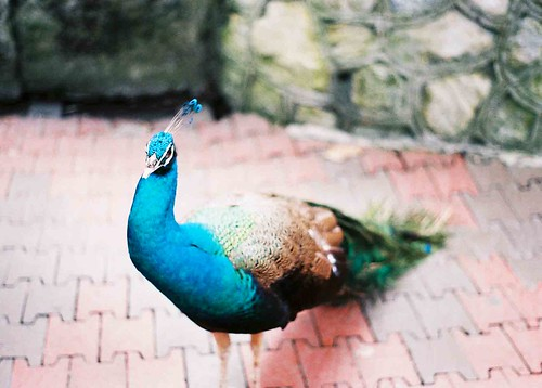 Peacock at the Bird Park