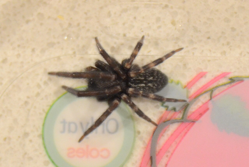 Curled Up Victorian Funnel Web Spider Hadronyche Modes