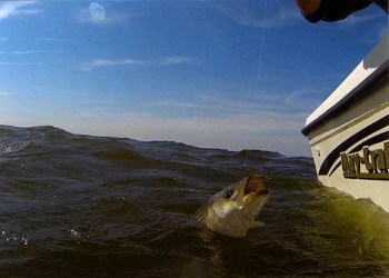 Photo of striped bass being caught