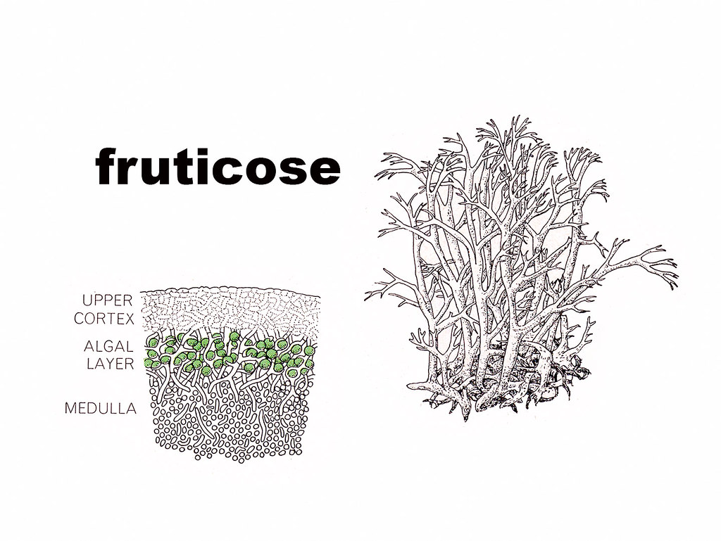 Fruticose Diagram