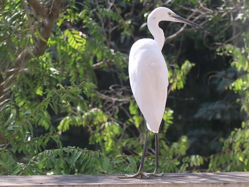 【Video】秋冬兩季門前的鳥兒們:小白鷺、翠鳥、黃尾鴝