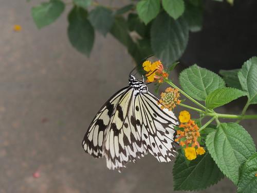 高雄金獅湖蝴蝶園:特大蝴蝶翩翩起舞在身邊