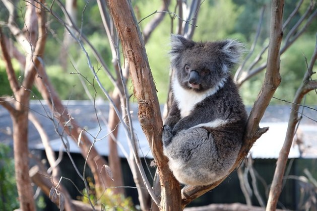 Koala na drzewie